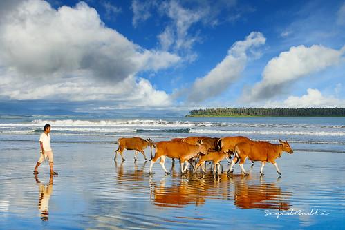 sky people indonesia cattle cows bluesky human browncow tap herd nias niasisland landscapephotography northsumatra pulaunias sirombu cowsonthebeach tanoniha travelasiaphotographycom tanöniha niasphotographicadventure2011 pantaisirombu sirombubeach niasbarat westnias