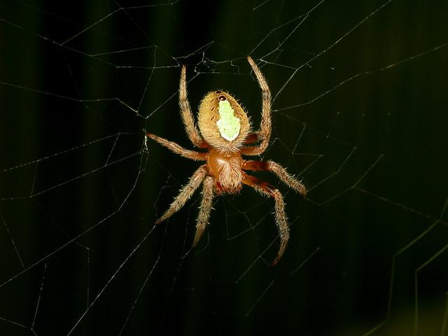 Spider Month Day #13   Tropical Orb Weaver Eriophora ravilla ... Green Garden Spider