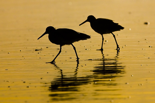 Two Willet shorebirds in silhouette on wet sand during a golden sunset on Morro Strand State Beach in Morro Bay, CA