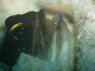 Gold-spec Jawfish