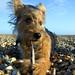Lottie Dog by C.A.Grassy