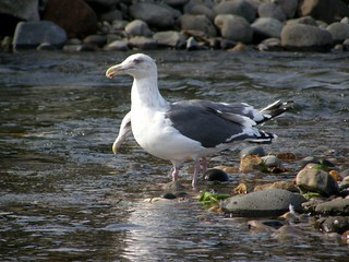 等大餐的海鷗 @ 遠音別川