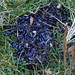 fox droppings - dung beetle elytra and squirrel claw