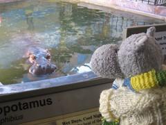 Hippo Contemplation