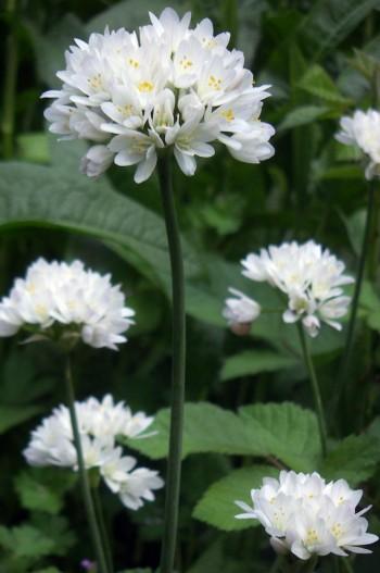 Allium neapolitanum 2346734435_b9618e9fbb_o