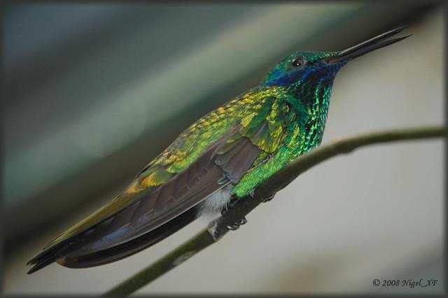 Ischia ... birds #16