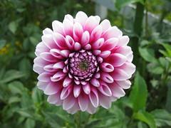 asterales(0.0), marguerite daisy(0.0), daisy(0.0), city car(0.0), annual plant(1.0), dahlia(1.0), flower(1.0), plant(1.0), flora(1.0), pink(1.0), petal(1.0),
