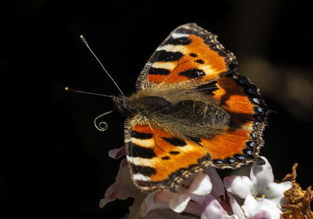 Stick out your tongue (Butterfly proboscises)