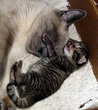 Siamese cat and baby tabby cat