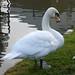 Small photo of Shapely Shipley Swan