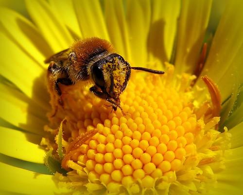 flower macro nature yellow canon suomi insect spring maria images bee sue pollen honeybee kerimäki luonto laakso kevät kukka hyönteinen keltainen mehiläinen anttola mywinners easternfinland platinumphoto canonpowershota710is marialaakso sue323