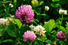 blossom, trifolieae, flower, wildflower, flora, petal,