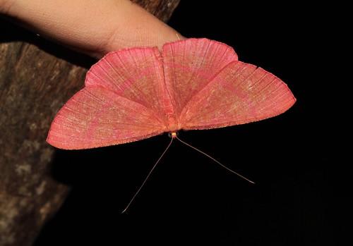 Eumelea sp. (Geometridae: Desmobathrinae)
