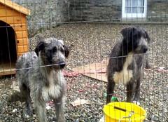 animal sports(0.0), leonberger(0.0), street dog(0.0), catalan sheepdog(0.0), dog sports(1.0), dog breed(1.0), animal(1.0), dog(1.0), pet(1.0), mammal(1.0), irish wolfhound(1.0), animal shelter(1.0),