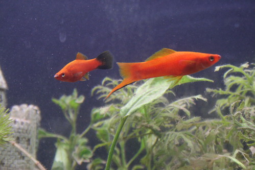 swordtail and molly