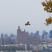 Hawk over Fort Lee