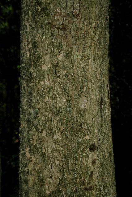Ackama paniculosa (Caldcluvia paniculosa  or Ackama paniculata) - Soft Corkwood,Rose-Leaved Marara