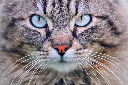 Cat with turquoise eyes by Tambako the Jaguar