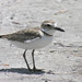 Wilson's Plover - Photo (c) Len Blumin, some rights reserved (CC BY-NC-ND)