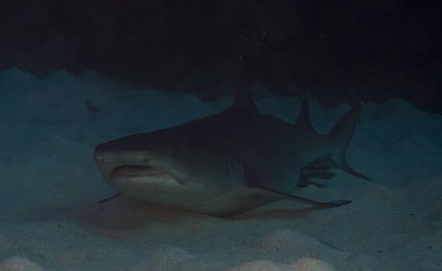 Whitetip Reef Shark, Osprey Reef