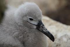 Albatros Ceja Negra / Black-browed Albatross / Thalassarche melanophrys