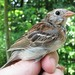 Field Sparrow - Photo (c) Herman Mays, some rights reserved (CC BY-NC-ND)
