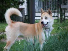 dog breed, animal, akita inu, west siberian laika, akita, dog, shiba inu, canaan dog, pet, norwegian buhund, shikoku, east siberian laika, greenland dog, finnish spitz, kishu, korean jindo dog, norwegian lundehund, carnivoran, icelandic sheepdog,