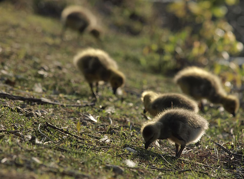 Foraging chicks