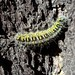 Caterpillar - Oruga; cerca de San Juanito, Sierra Tarahumara, Chihuahua, Mexico por Lon&Queta