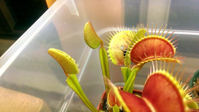 Dionaea muscipula.