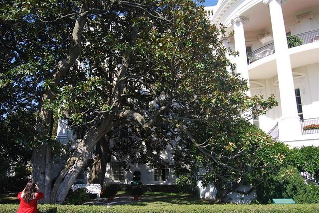 Jackson Magnolia Tree Original Tree Planted By Andrew Jack Flickr