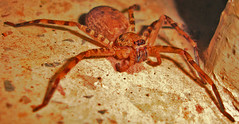 arthropod, animal, spider, invertebrate, macro photography, fauna, close-up, wolf spider,