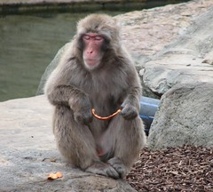 baboon(0.0), animal(1.0), monkey(1.0), zoo(1.0), mammal(1.0), fauna(1.0), japanese macaque(1.0), old world monkey(1.0), wildlife(1.0),