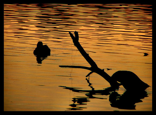 sunset lake water silhouette golden geese nc branch shadows ducks northcarolina raleigh serene ripples chrysti shelleylake aplusphoto