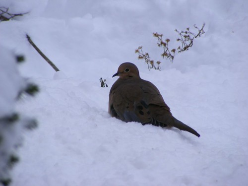 Mourning Dove in December