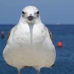 Seagull in Rovinj