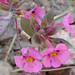 Bigelow's Monkeyflower - Photo (c) Len Blumin, some rights reserved (CC BY-NC-ND)