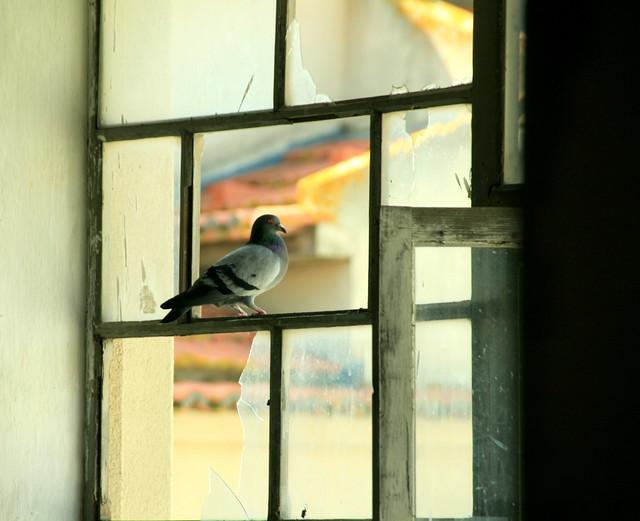 Birds lived in Monica´S Convent /Pombas habitam a Antiga Prisão Feminina / Antigo CONVENTO das Monicas