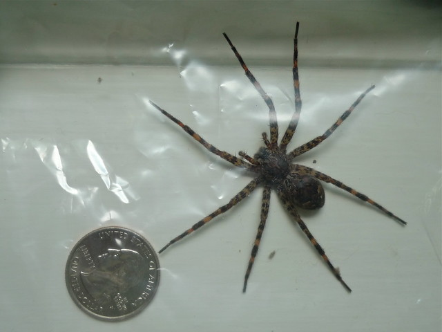 Pictures of Big Brown Spiders http://www.flickr.com/photos/donpix/3791429665/