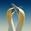 Northern Gannet - Photo (c) Xavier Ceccaldi, some rights reserved (CC BY-NC-SA)