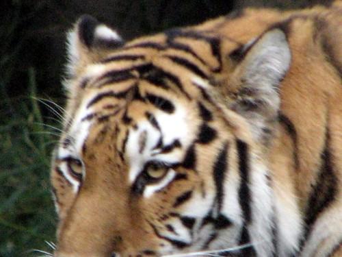 Tatiana the siberian tiger join group