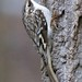 Brown Creeper - Photo (c) Jerry Downs, some rights reserved (CC BY-ND)