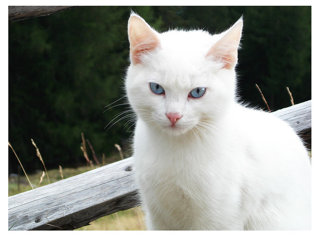 White Cat Blue Eyes Tumblr