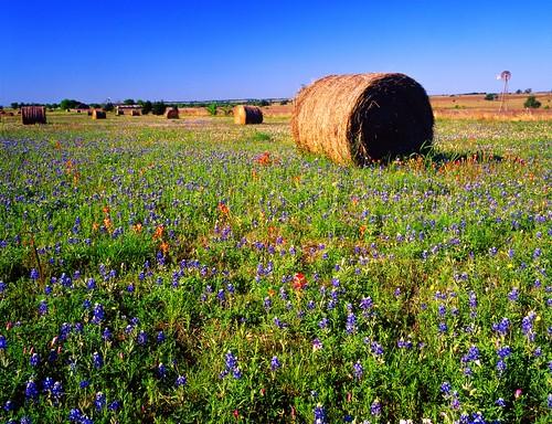 flower film windmill mediumformat geotagged texas haystack bluebonnets lupine filmscan indianpaintbrush stateflower primrose texaswildflowers lupinustexensis mamiya7ii texasstateflower winecups lavacacounty mixedwildflowers geo:lat=29570639 geo:lon=96970289