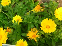 sunflower(0.0), marguerite daisy(0.0), sulfur cosmos(0.0), meadow(0.0), chrysanths(0.0), annual plant(1.0), calendula(1.0), flower(1.0), yellow(1.0), plant(1.0), herb(1.0), wildflower(1.0), flora(1.0),