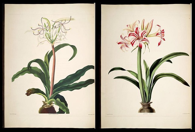 flowers: book illustration by P Bury