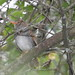 Small photo of Orange-billed Nightingale-Thrush (Catharus aurantiirostris)