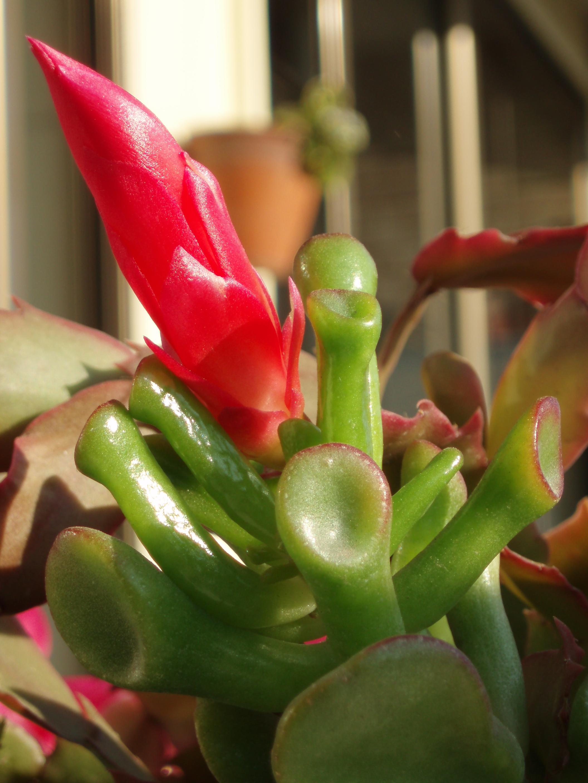 Crassula portulacea 39 gollum 39 cactus cactus de navidad for Cactus de navidad