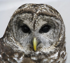 falcon(0.0), wing(0.0), animal(1.0), bird of prey(1.0), owl(1.0), fauna(1.0), close-up(1.0), beak(1.0), great grey owl(1.0), bird(1.0), wildlife(1.0),