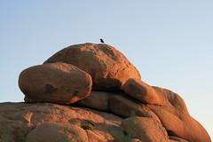 Jumbo Rocks bird